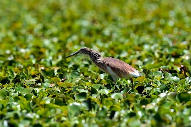 獲物を求めてナイバシャ湖のサンカノゴイ Premium写真
