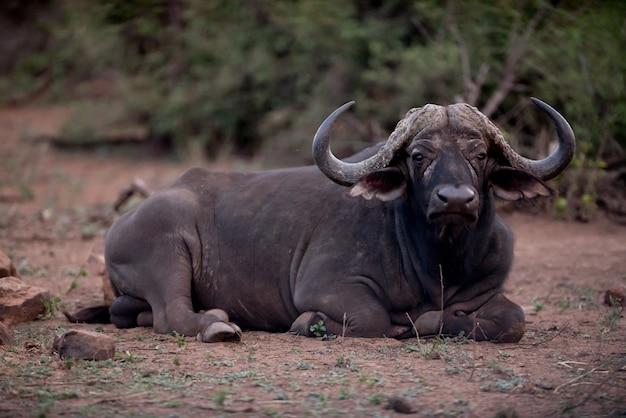 Bufalo africano in appoggio a terra Foto Gratuite