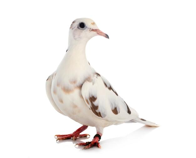 Африканский голубь с воротником на белом фоне Premium Фотографии
