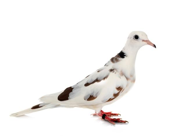 Африканский голубь перед белым изолированным Premium Фотографии