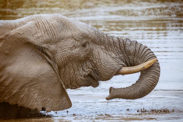 南アフリカのアッド国立公園で飲んだり洗ったりするアフリカゾウ Premium写真