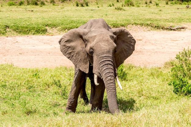 Африканский слон в национальном парке масаи мара. кения, африка. Premium Фотографии