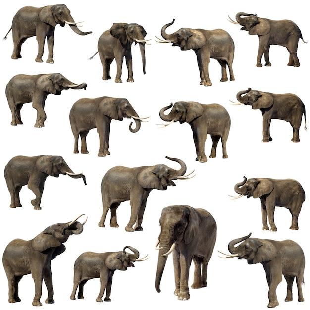 African elephant isolated Premium Photo