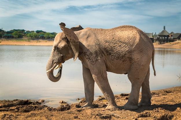 南アフリカの狩猟保護区にある湖のそばに立っているアフリカ象 Premium写真