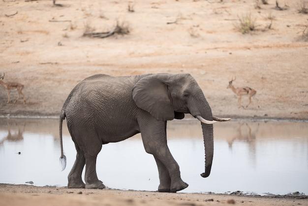 湖のほとりを歩くアフリカゾウ 無料写真