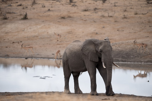 African elephant walking on the side of the lake Free Photo