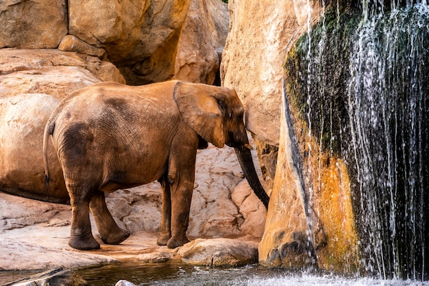 African elephant walking through a zoo and smiling. Premium Photo