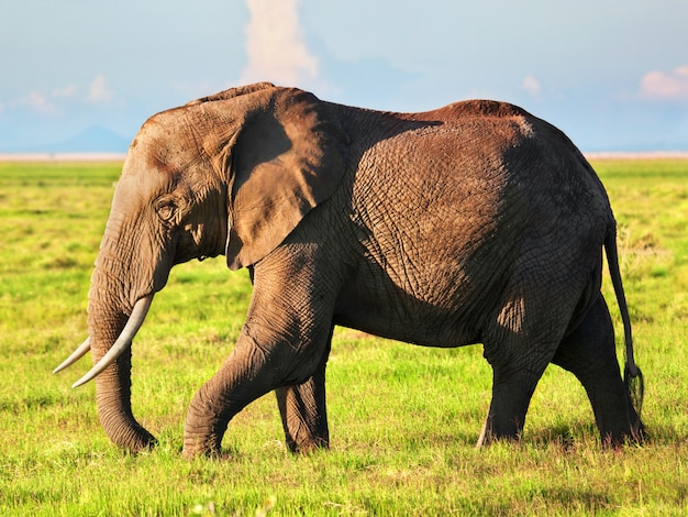 African Elephant Photo Free Download