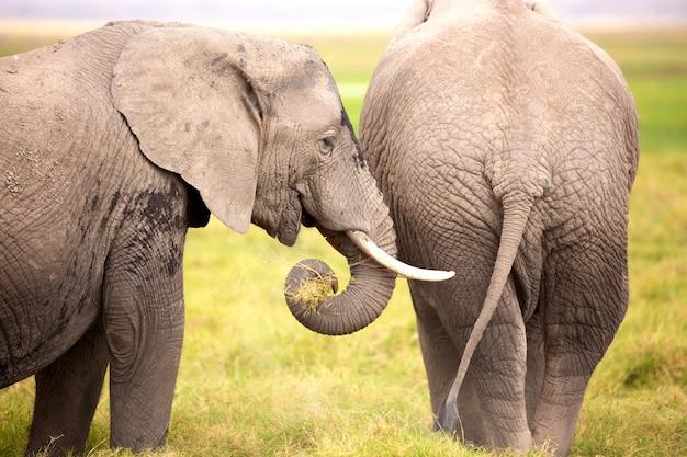Африканские слоны в национальном парке амбосели. кения, африка. Premium Фотографии
