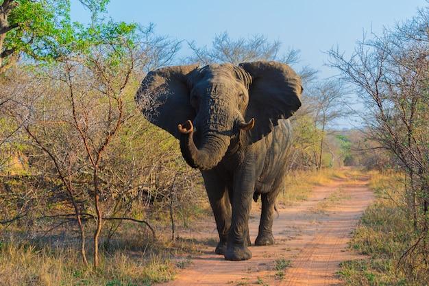 african elephants on a safari through south africa in the krugerafrican elephants on a safari through south africa in the kruger national park premium photo