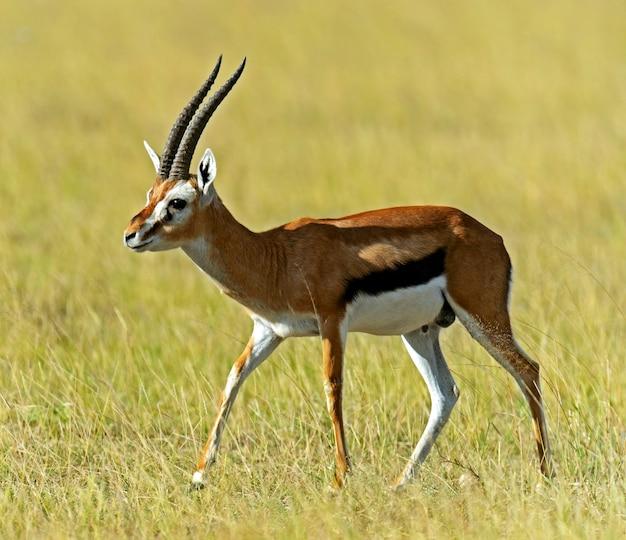 Африканская грант газель в национальном парке амбосели. кения, африка Premium Фотографии