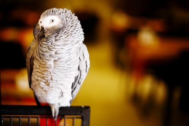 African grey parrot Premium Photo