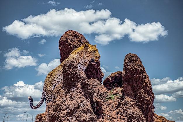 曇り空の下で岩の崖を登るアフリカヒョウ 無料写真