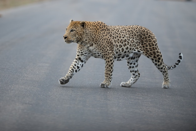 African leopard crossing a road at daylight Free Photo