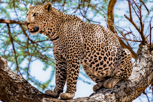 African leopard sitting on a tree looking around in a jungle Free Photo