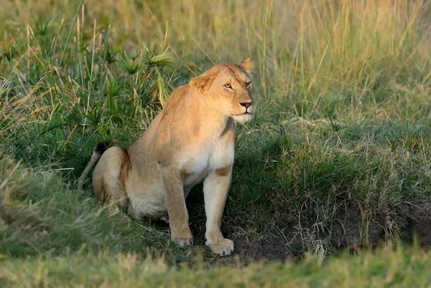 Leone africano nel parco nazionale del sud africa Foto Gratuite