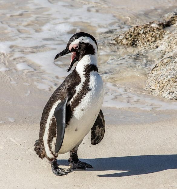 砂浜のビーチでアフリカのペンギン Premium写真