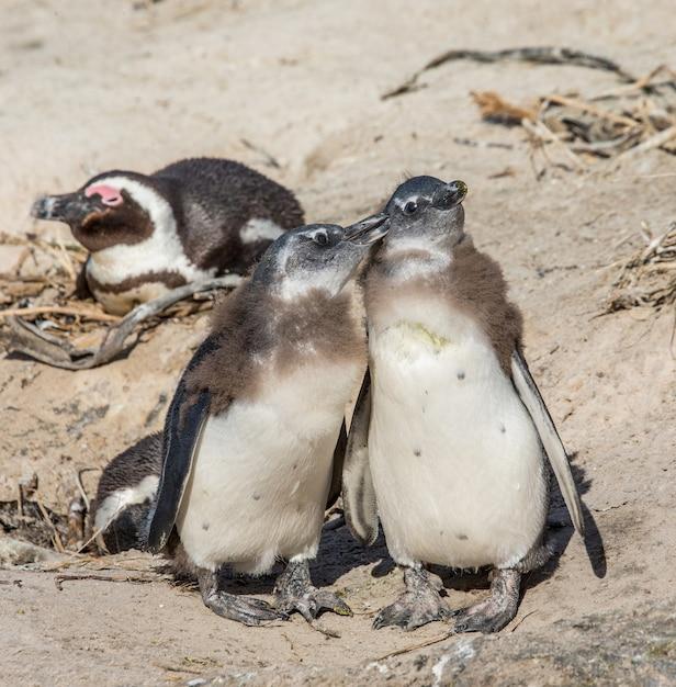 砂浜でアフリカのペンギン Premium写真