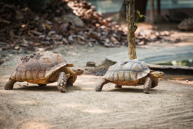 African spurred tortoise Premium Photo