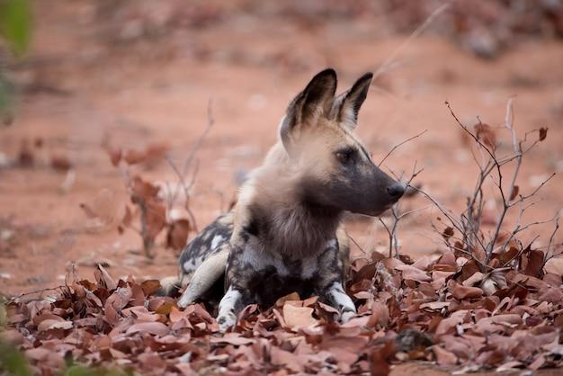 Cane selvatico africano in appoggio a terra con uno sfondo sfocato Foto Gratuite