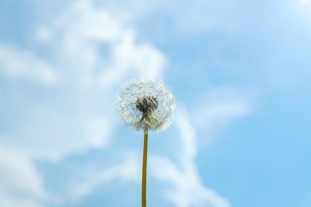 Один пушистый одуванчик againt лето голубое небо фон с облаками Premium Фотографии