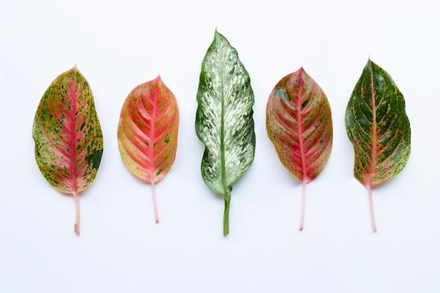 カラフルなaglaonemaの葉白で分離 Premium写真