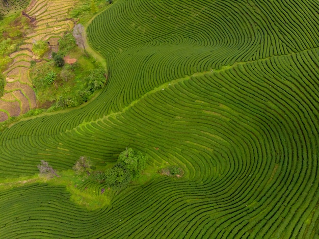 Agricultural area farmland of green tea planter on the mountain chiang rai thailand aerial view from drone Premium Photo