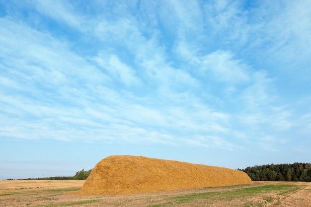 밀 수확 후 밀짚 건초 더미, 곡물 밭, 농업 및 유기농 식품, 가을 시즌, 푸른 하늘이 누워 남아있는 농업 분야 프리미엄 사진