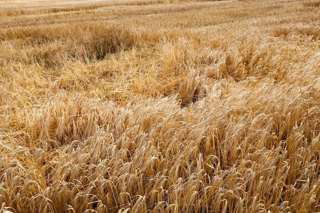 폭풍 후 땅에 익은 노란 밀이있는 농업 분야 프리미엄 사진