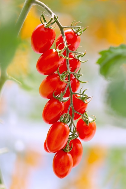 Agriculture of fresh ripe red and yellow tomatoes plantation growth in organic greenhouse garden ready to harvest. Premium Photo