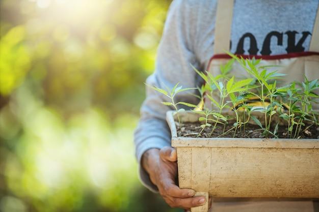 マリファナの木の鉢植えの農業。美しい背景に大麻。 無料写真