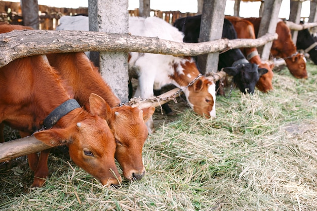 Agriculture industry, farming and animal husbandry concept. herd of cows  in cowshed on dairy farm Premium Photo