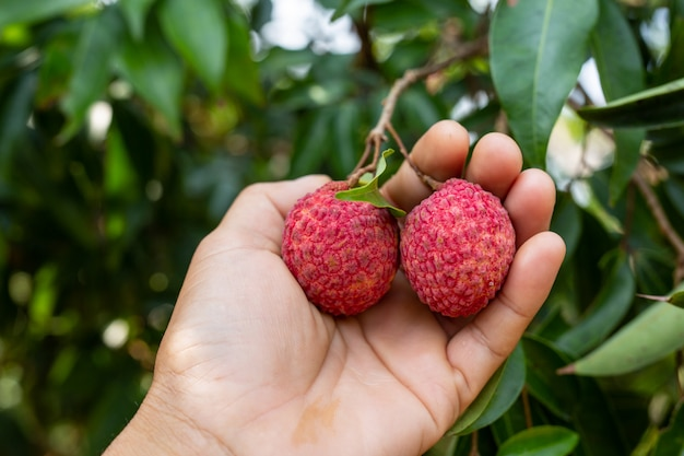 Agriculture of lychee fruit in thailand Free Photo