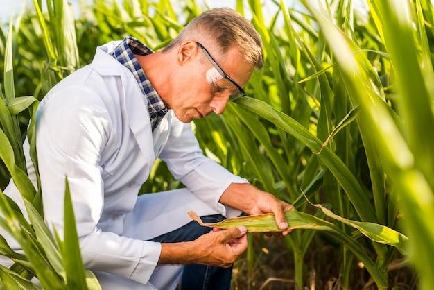 Agronomist careful inspecting a maize leaf Free Photo