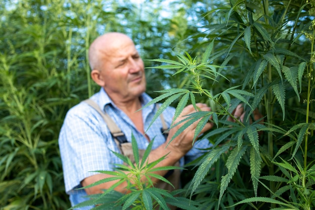 Agronomist checking quality of cannabis or hemp leaves in the field Free Photo