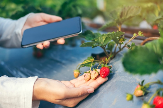 Agronomist woman using smartphone checking strawberry in organic strawberry farm Premium Photo