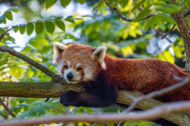 Симпатичная красная панда или ailurus fulgens на дереве Premium Фотографии