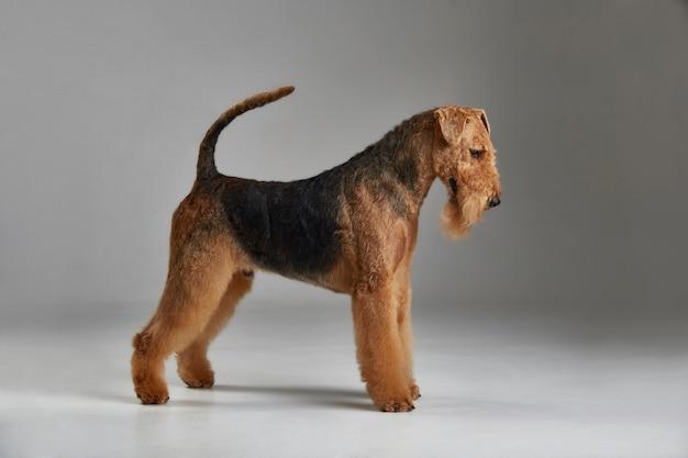 Airedale terrier in profile Premium Photo