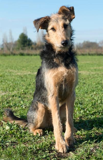 Airedale terrier Premium Photo
