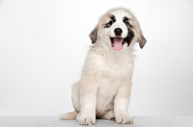 Alabai-중앙 아시아 양치기 강아지 서. 흰 벽에 초상화입니다. 젊고 예쁜 강아지, 애완 동물 사랑 개념. 무료 사진