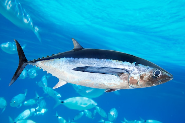 Albacore tuna fish thunnus alalunga Premium Photo