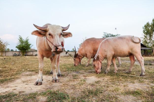 The albino buffalo Premium Photo