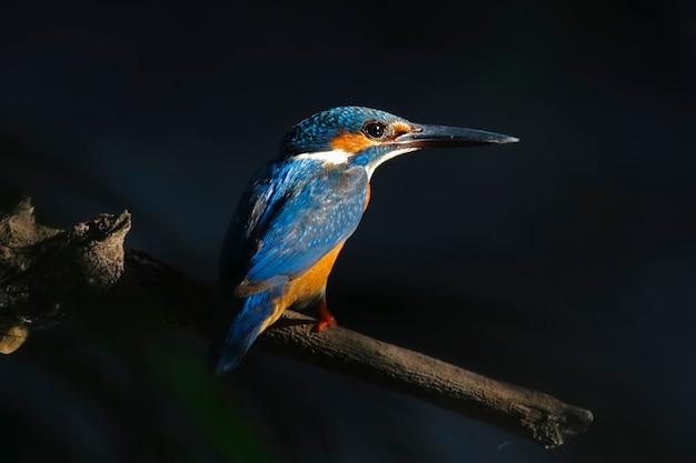 一般的なカワセミalcedo atthisタイの美しい男性の鳥 Premium写真