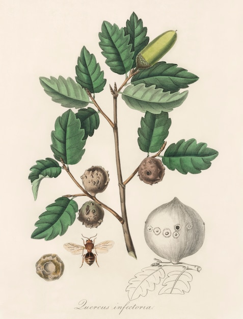 Aleppo oak (luercus infectoria) illustration from medical botany (1836) Free Photo
