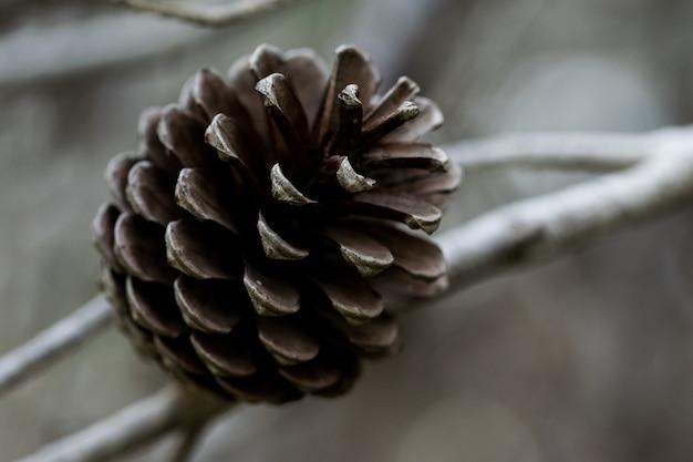 Pigna di aleppo, aperta e dopo aver rilasciato tutti i suoi semi, a malta Foto Gratuite