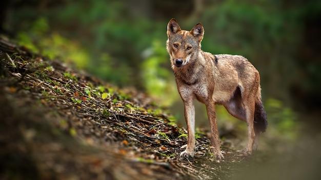 Бдительный волк перед камерой в лесу летом. Premium Фотографии