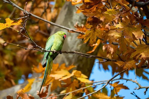 木の枝にオオホンセイインコまたはpsittaculaeupatriaスズキ Premium写真