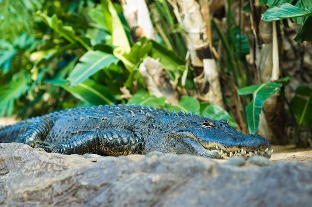 アリゲーター。大きな口と歯のクローズアップ。テネリフェ島のカナリア諸島。 Premium写真