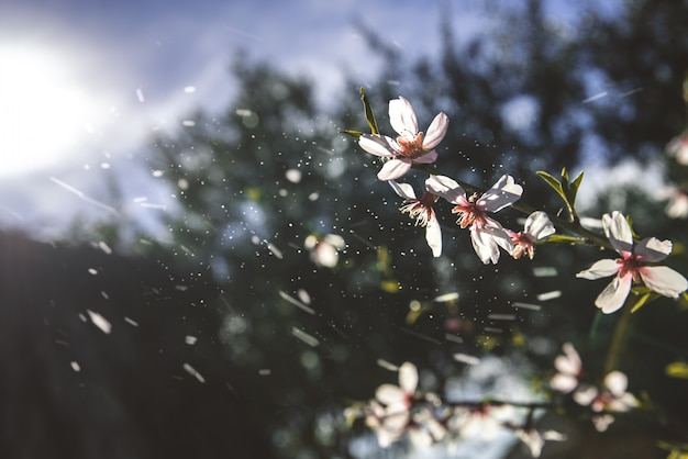 Almond trees bloom with the arrival of spring, soft background of feminine colors. Premium Photo