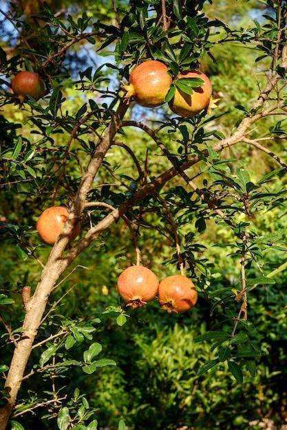 Почти спелый плод граната, висящий на дереве. Premium Фотографии